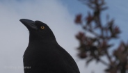 Currawong looking for food
